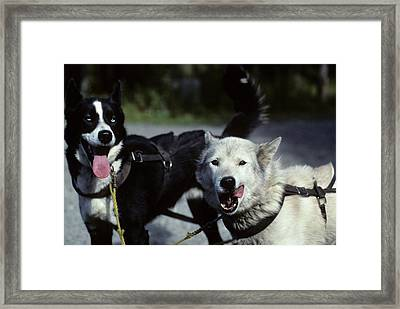 Usa, Alaska, Sled Dogs, Dog Sledding Framed Print by Gerry Reynolds