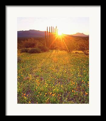 Cactus Southwest Cactus Flower Orange Wildflowers Nature Arizona Framed Prints