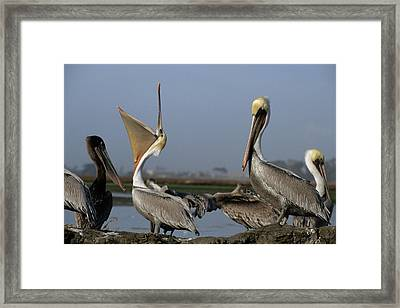 Usa, California, Brown Pelicans Framed Print