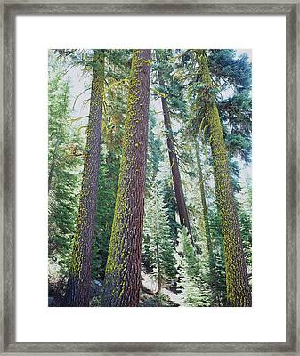 Usa, California Old-growth Red Fir Framed Print by Jaynes Gallery