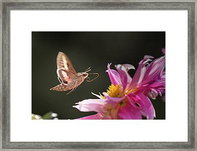 Usa, Colorado White-lined Sphinx Moth Framed Print