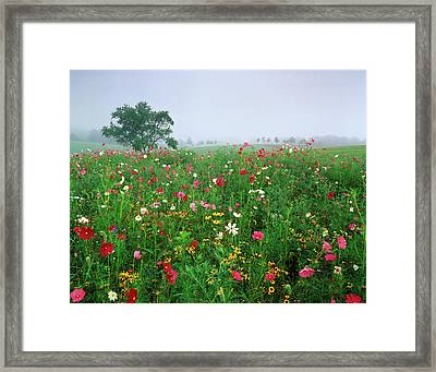 Usa, Kentucky, Union, Field Of Cosmos Framed Print by Adam Jones