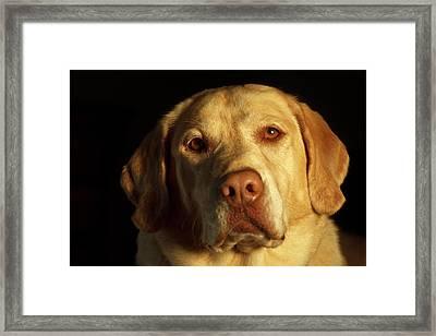 Usa, Oregon, Keizer, Labrador Retriever Framed Print