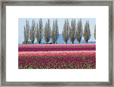 Usa, Washington, Mount Vernon, Tulip Framed Print