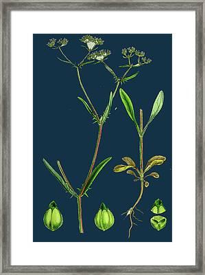Valerianella Auricula Sharp-fruited Lambs-lettuce Framed Print by English School