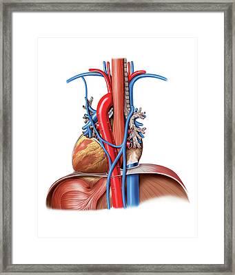 Vascular System. Lungs Framed Print by Asklepios Medical Atlas