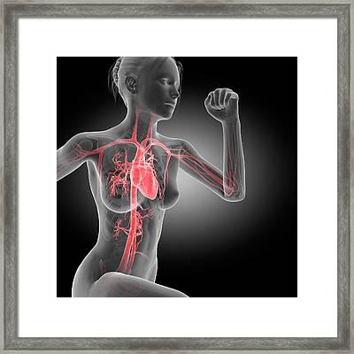 Vascular System Of Jogger Framed Print by Sebastian Kaulitzki