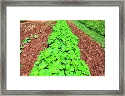 Vegetable Garden At Thomas Jeffersons Framed Print