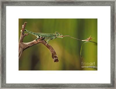Veiled Chameleon Catches Cricket Framed Print