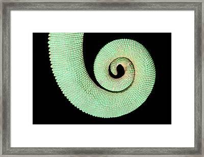Veiled Chameleon Tail Detail Framed Print