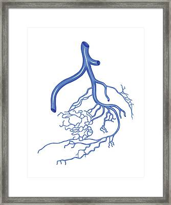 Venous System Of The Male Pelvis Framed Print