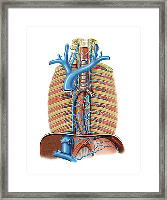 Venous System Of The Oesophagus Framed Print