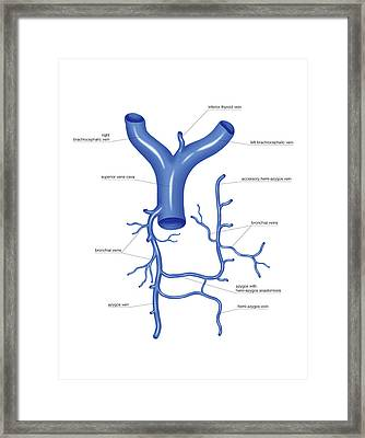 Venous System Of The Thorax Framed Print