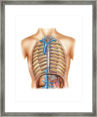 Venous System Of The Torso Framed Print