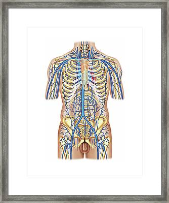 Venous System Of The Trunk Framed Print