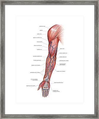 Venous System Of The Upper Limb Framed Print