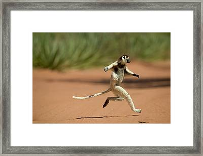 Verreauxs Sifaka Propithecus Verreauxi Framed Print by Cyril Ruoso