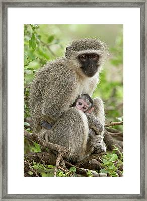 Vervet Monkey And Young Framed Print by Bob Gibbons