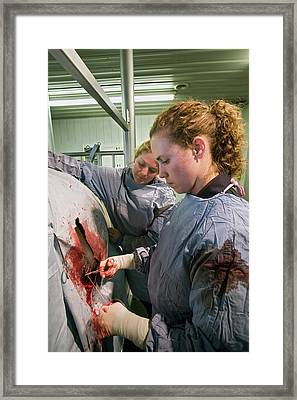 Veterinarians Operating On A Cow Framed Print by Jim West
