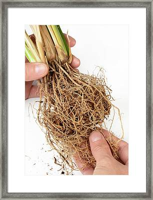 Vetiver Grass Roots Framed Print by Cordelia Molloy