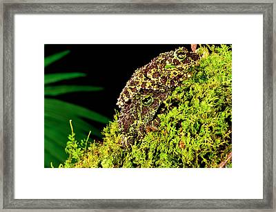 Vietnamese Mossy Frog, Theloderma Framed Print by David Northcott