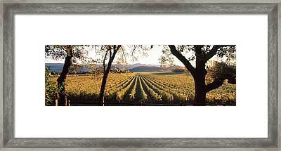 Vines In A Vineyard, Far Niente Winery Framed Print
