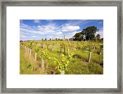Vineyard Framed Print by Ashley Cooper
