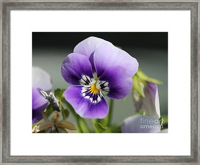 Viola Named Sorbet Marina Baby Face Framed Print by J McCombie