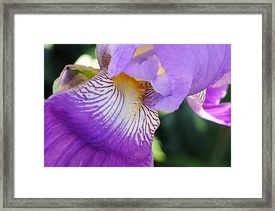 Violet Framed Print by Nora Boghossian
