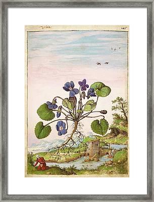 Violet (viola Odorata) Framed Print