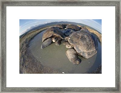 Volcan Alcedo Giant Tortoises Wallowing Framed Print