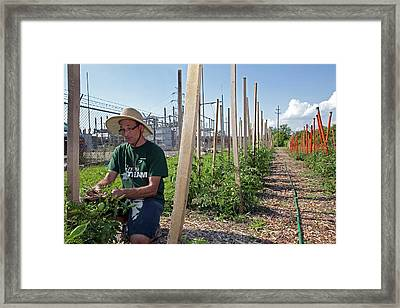 Volunteer In A Community Garden Framed Print