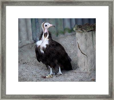 Vulture Framed Print by Paulette Thomas