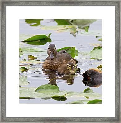 Wa, Juanita Bay Wetland, Wood Ducks Framed Print