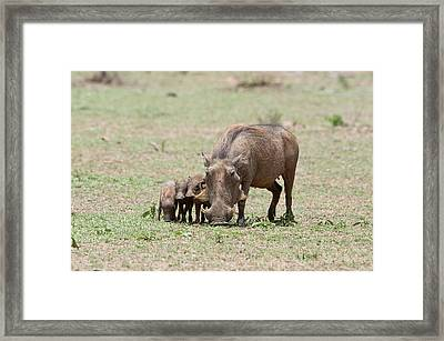 Warthog And Young Framed Print by Bob Gibbons