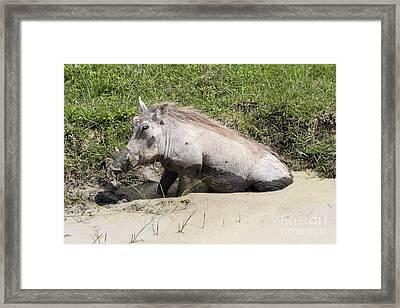Warthog Framed Print by PhotoStock-Israel