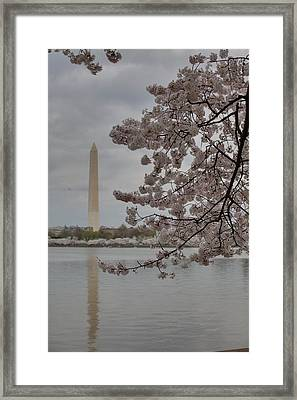Washington Monument - Cherry Blossoms - Washington Dc - 011316 Framed Print by DC Photographer