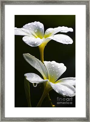 Water Droplet On Frangipani Flower Framed Print