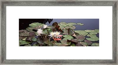 Water Lilies In A Pond, Sunken Garden Framed Print