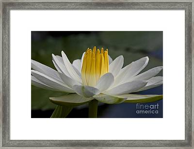 Water Lily Framed Print by Heiko Koehrer-Wagner