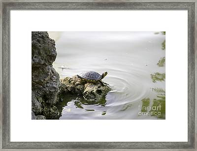 Water Turtle Framed Print