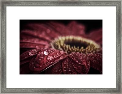 Waterdrops On A Gerbera Daisy Framed Print