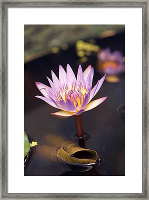 Waterlily (nymphaea Capensis) Flower Framed Print by Adrian Thomas
