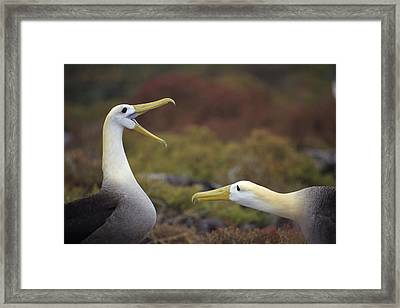 Waved Albatross Courtship Display Framed Print by Tui De Roy