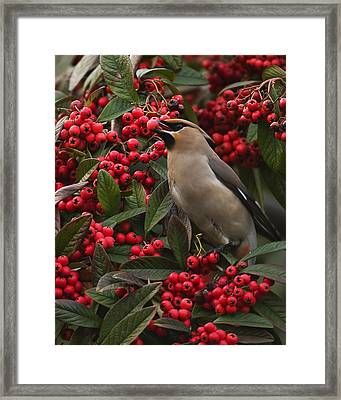 Waxwing Framed Print by Paul Scoullar