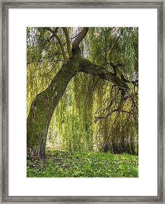 Weeping Willow Framed Print by Thomas Schreiter