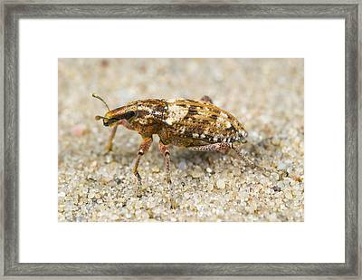 Weevil On Sand Framed Print by Science Photo Library