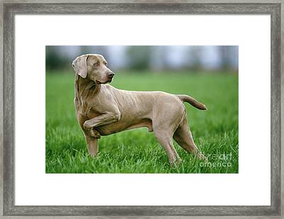 Weimaraner Dog Framed Print by Jean-Michel Labat