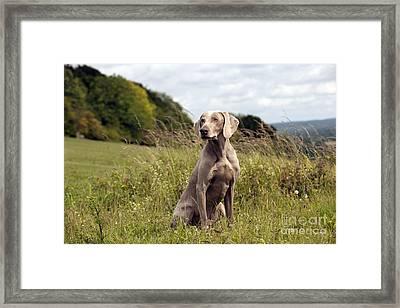 Weimaraner Dog Framed Print