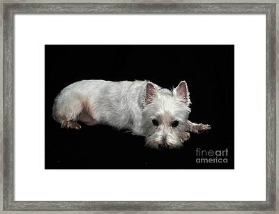 West Highland Terrier I Framed Print by Catherine Reusch Daley